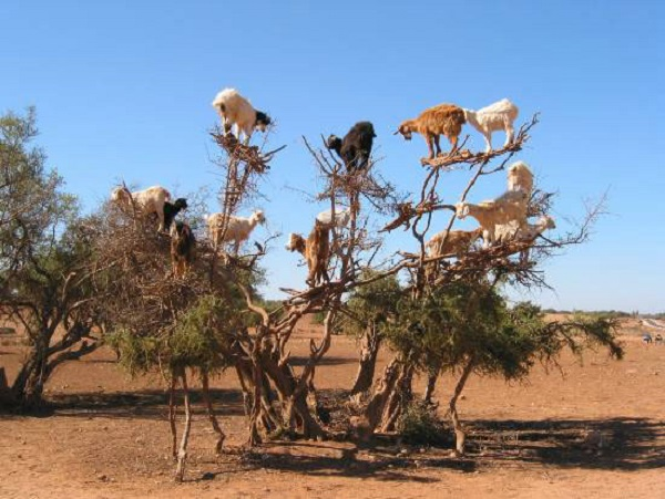 morocco's climbing goats