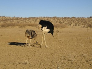 1024px-Ostriches_Kgalagadi_Transfrontier_Park