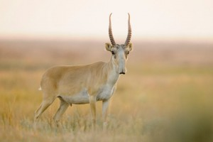 Saiga-Antelope-Photos