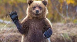 grizzly-bear2