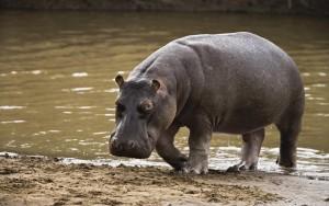 hippopotamus-002